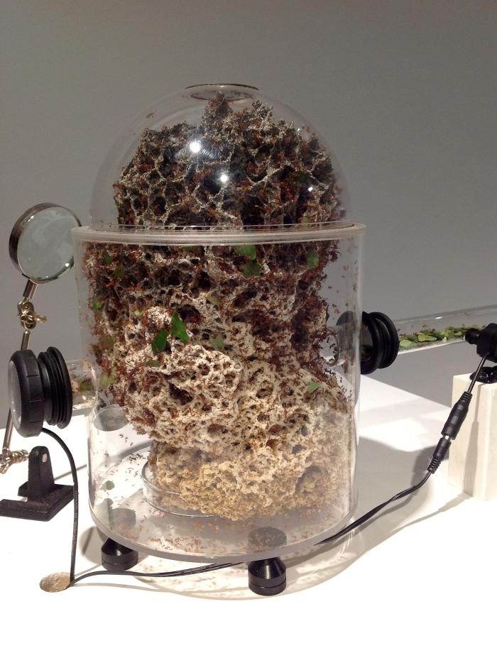colonia de Atta cephalotes en habitat artificial amplificado por microfonos de contacto y monitoreado con cameras inhalambricas conectadas a computadora.