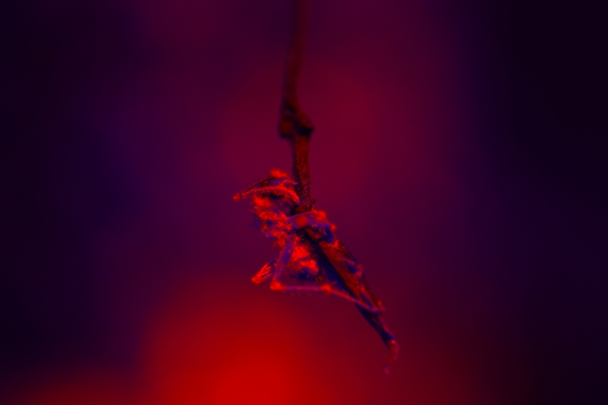 fotografía en papel metálico, 80x460cm, hormiga género Camponotus infectada con el hongo parasitario letal de Odiocordyceps unilateralis